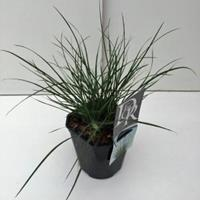 "Plantenwinkel.nl Lampenpoetsersgras (Pennisetum alopecuroides ""Little Bunny"") siergras"
