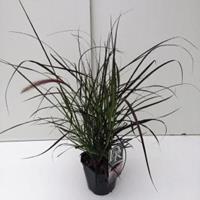 "Plantenwinkel.nl Lampenpoetsersgras (Pennisetum setaceum ""Rubrum"") siergras - In 2 liter pot - 1 stuks"