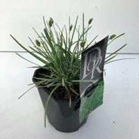 Plantenwinkel.nl Blauwgras (Sesleria caerulea) siergras