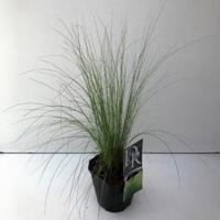 "Plantenwinkel.nl Vedergras (Stipa tenuifolia ""Ponytails"") siergras"