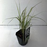 "Plantenwinkel.nl Fazantstaartgras (Anemanthele ""Sirocco"") siergras"
