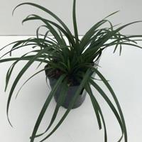 "Plantenwinkel.nl Zegge (Carex ""Irish Green"") siergras - In 2 liter pot - 1 stuks"