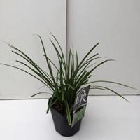 "Plantenwinkel.nl Zegge (Carex morrowii ""Variegata"") siergras"