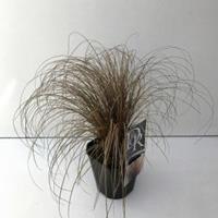 """Plantenwinkel.nl Zegge (Carex comans """"Bronze Form"""") siergras"""
