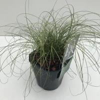 "Plantenwinkel.nl Zegge (Carex comans ""Frosted Curls"") siergras - In 2 liter pot - 1 stuks"