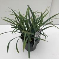 "Plantenwinkel.nl Zegge (Carex laxiculmis ""Bunny Blue"") siergras - In 2 liter pot - 1 stuks"