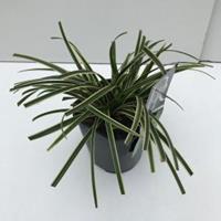 "Plantenwinkel.nl Zegge (Carex morrowii ""Ice Dance"") siergras - In 2 liter pot - 1 stuks"