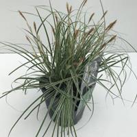 """Plantenwinkel.nl Zegge (Carex oshimensis """"Everest"""") siergras - In 2 liter pot - 1 stuks"""