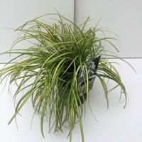 "Plantenwinkel.nl Zegge (Carex oshimensis ""Eversheen"") siergras"