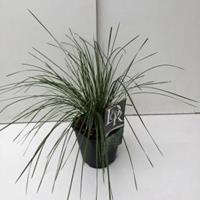 "Plantenwinkel.nl Ruwe smele (Deschampsia cespitosa ""Goldtau"") siergras"