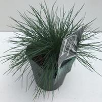 "Plantenwinkel.nl Zwenkgras (Festuca glauca ""Elijah Blue"") siergras - In 2 liter pot - 1 stuks"