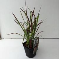 "Plantenwinkel.nl Japans bloedgras (Imperata cylindrica ""Red Baron"") siergras"