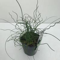 "Plantenwinkel.nl Krulpitrus (Juncus effusus ""Spiralis"") siergras - In 2 liter pot - 1 stuks"