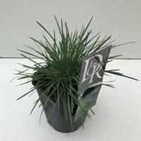Plantenwinkel.nl Fakkelgras (Koeleria glauca) siergras