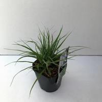 Plantenwinkel.nl Veldbies (Luzula nivea) siergras
