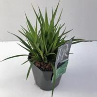 Plantenwinkel.nl Grote veldbies (Luzula sylvatica) siergras