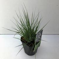 "Plantenwinkel.nl Pijpenstrootje (Molinia caerulea ""Edith Dudszus"") siergras"