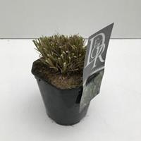 "Plantenwinkel.nl Lampenpoetsersgras (Pennisetum alopecuroides ""Hameln"") siergras - In 2 liter pot - 1 stuks"