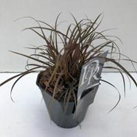 "Plantenwinkel.nl Rode zegge (Uncinia uncinata ""Rubra"") siergras"