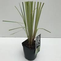 "Plantenwinkel.nl Pampasgras (Cortaderia selloana ""Pumila"") siergras - In 2 liter pot - 1 stuks"