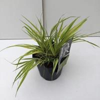 "Plantenwinkel.nl Hakonegras (Hakonechloa macra ""Aureola"") siergras"