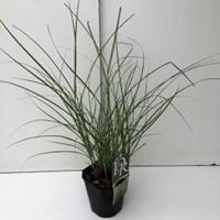 """Plantenwinkel.nl Prachtriet (Miscanthus sinensis """"Adagio"""") siergras"""