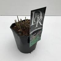 """Plantenwinkel.nl Prachtriet (Miscanthus sinensis """"Ferner Osten"""") siergras - In 2 liter pot - 1 stuks"""