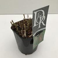 """Plantenwinkel.nl Prachtriet (Miscanthus sinensis """"Flamingo"""") siergras - In 2 liter pot - 1 stuks"""