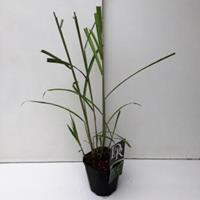 """Plantenwinkel.nl Prachtriet (Miscanthus sinensis """"Giganteus"""") siergras"""