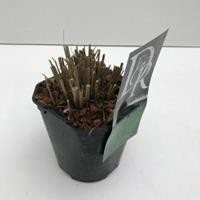 """Plantenwinkel.nl Prachtriet (Miscanthus sinensis """"Morning Light"""") siergras - In 2 liter pot - 1 stuks"""