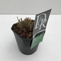 """Plantenwinkel.nl Prachtriet (Miscanthus sinensis """"Strictus"""") siergras - In 2 liter pot - 1 stuks"""