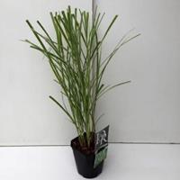 """Plantenwinkel.nl Prachtriet (Miscanthus sinensis """"Variegatus"""") siergras"""