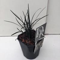 """Plantenwinkel.nl Slangenbaard (Ophiopogon planiscapus """"Niger"""") siergras"""
