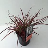 "Plantenwinkel.nl Lampenpoetsersgras (Pennisetum setaceum ""Fireworks"") siergras - In 2 liter pot - 1 stuks"