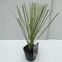 "Plantenwinkel.nl Dwergpampasgras (Cortaderia selloana ""Mini Gold Pampas"") - In 2 liter pot - 1 stuks"