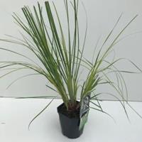 "Plantenwinkel.nl Dwergpampasgras (Cortaderia selloana ""Mini Pampas"") siergras - In 2 liter pot - 1 stuks"