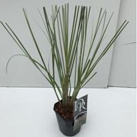 "Plantenwinkel.nl Dwergpampasgras (Cortaderia selloana ""Mini Silverpampas"") siergras - In 2 liter pot - 1 stuks"