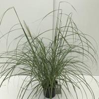 """Plantenwinkel.nl Prachtriet (Miscanthus sinensis """"Flamingo"""") siergras - In 3 liter pot - 1 stuks"""