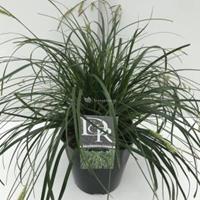 "Plantenwinkel.nl Japanse zegge (Carex ""Evergreen"") siergras - In 5 liter pot - 1 stuks"