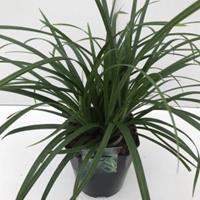 "Plantenwinkel.nl Zegge (Carex ""Irish Green"") siergras - In 5 liter pot - 1 stuks"