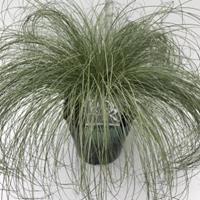 "Plantenwinkel.nl Zegge (Carex comans ""Frosted Curls"") siergras - In 5 liter pot - 1 stuks"