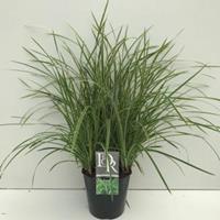 "Plantenwinkel.nl Zegge (Carex morrowii ""Ice Dance"") siergras - In 5 liter pot - 1 stuks"