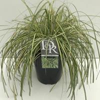 """Plantenwinkel.nl Zegge (Carex oshimensis """"Evergold"""") siergras - In 5 liter pot - 1 stuks"""