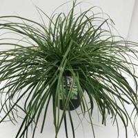 """Plantenwinkel.nl Zegge (Carex oshimensis """"Everlime"""") siergras - In 5 liter pot - 1 stuks"""