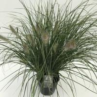 "Plantenwinkel.nl Lampenpoetsersgras (Pennisetum alopecuroides ""Hameln"") siergras - In 5 liter pot - 1 stuks"