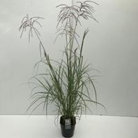 """Plantenwinkel.nl Prachtriet (Miscanthus sinensis """"Ferner Osten"""") siergras - In 5 liter pot - 1 stuks"""