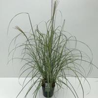 """Plantenwinkel.nl Prachtriet (Miscanthus sinensis """"Flamingo"""") siergras - In 5 liter pot - 1 stuks"""