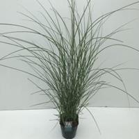 """Plantenwinkel.nl Prachtriet (Miscanthus sinensis """"Gracillimus"""") siergras - In 5 liter pot - 1 stuks"""