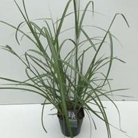 """Plantenwinkel.nl Prachtriet (Miscanthus sinensis """"Malepartus"""") siergras - In 5 liter pot - 1 stuks"""