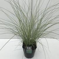 """Plantenwinkel.nl Prachtriet (Miscanthus sinensis """"Morning Light"""") siergras - In 5 liter pot - 1 stuks"""